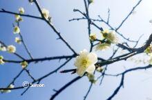 春风又抚芙蓉面,不在梅边在柳边——早春三月超山赏梅