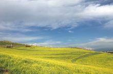 夏日的门源:油菜花盛开,祁连山下的狂野与浪漫