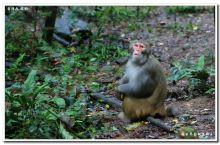 张家界金鞭溪的猴王