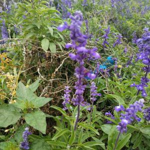 紫缘香草园旅游景点攻略图