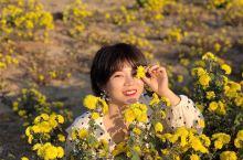 藏在泰山脚下的小众世外桃源 藏着四万亩的金色菊花海洋