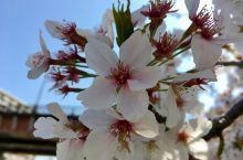 樱花之巅: 红粉白雪竟娇艳,花不自醉人自醉  东京迎来了今年最美妙与灿烂阳光:樱花盛开之时。不愧为樱