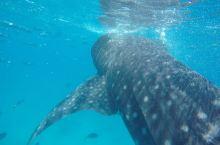 人生第一次在oslob与鲸鲨同游 震撼!