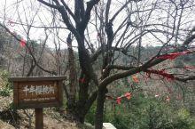 千年樱桃树