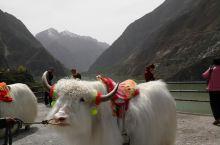 藏区白牦牛