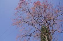 秋,柿子树