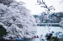 樱美 远处的樱花一眼观去是一片洁白,散发着柔和的光芒,如云似霞。一片生机盎然的迷人景象,让路过的行人