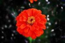 新疆天山红花
