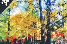11月云南推荐|最美腾冲季,赏银杏,泡温泉 进入冬天就是旅游的最佳时间,从银杏变黄开始,正式宣布腾冲