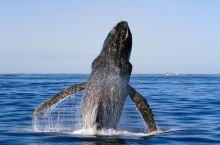 去黄金海岸赏鲸