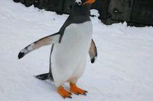 小企鹅超级可爱