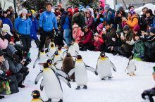 旭川zoo的冬季企鹅散步,萌得翻个跟头#2019心愿之旅