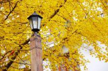 广东的秋天终于来了!去南雄看金灿灿的银杏吧~