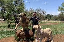 南非约翰内斯堡之行(三) 与非洲狮的亲密接触