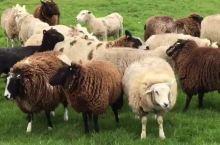 荷兰羊角村的羊再向您问好😄