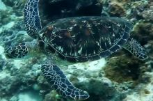 海龟 在斐济MANA潜水拍摄的海龟