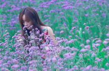 集安有的不只是油菜花田,还有紫色的薰衣草海洋