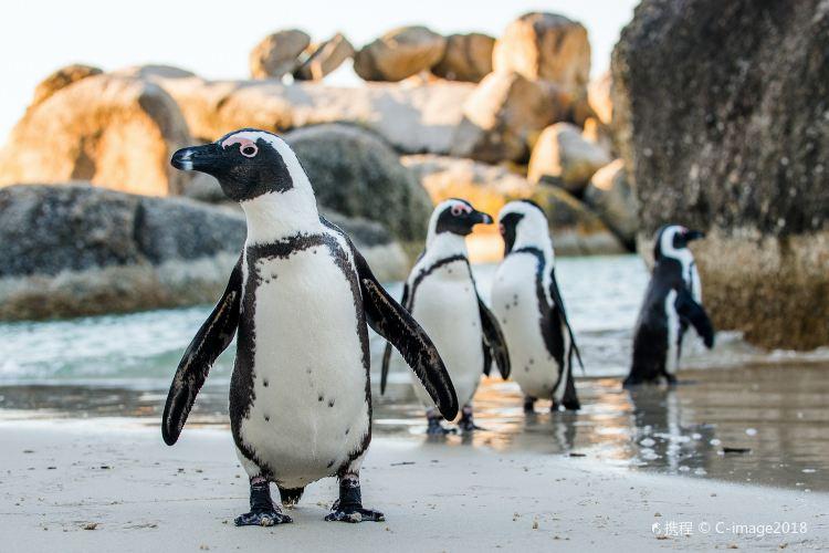 南非企鵝生態保護區3