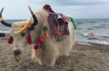青海湖牦牛,美景