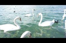 #向往的生活#来日内瓦湖喂天鹅,体验向往的生活!