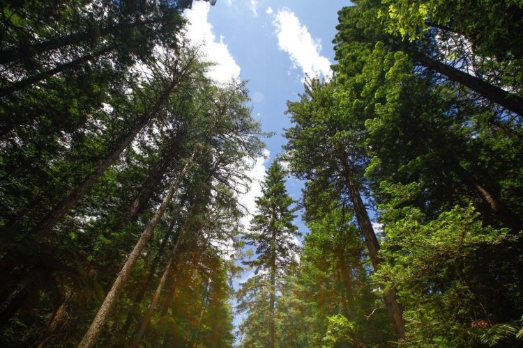 The Redwoods1
