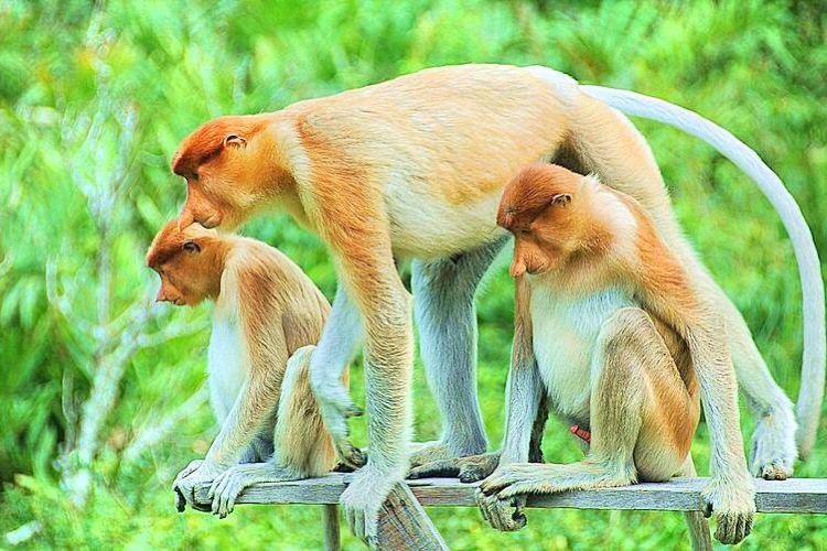 拉蔔灣長鼻猴保護區