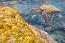 夏威夷欧胡岛北岸浮潜