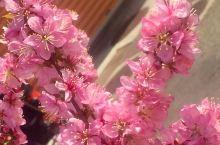 樱花祭前奏,期待10天后之樱花雪飘临