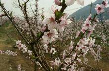 平谷赏桃花