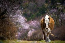 林芝赏花指南   3月来林芝,不止十里桃林,这里有西藏最美的春天