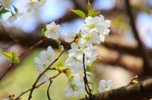 看樱花飞舞,何必漂洋过海 l 国内樱花观赏地大集合