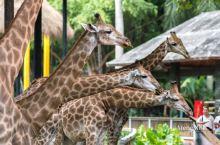 在这里居然可以近距离喂长颈鹿!