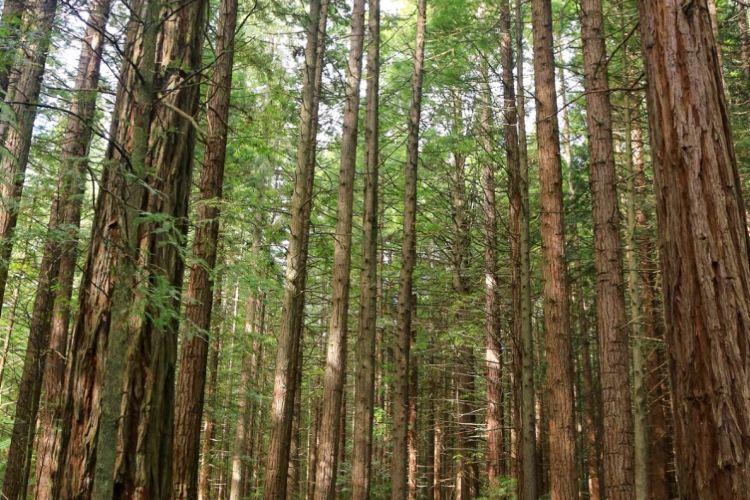 The Redwoods2