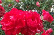 雨中的玫瑰