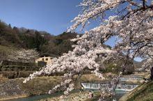 早川堤の桜並木
