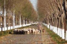 公路-羊群