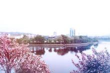 新县樱花开 欢迎等你来