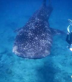 [马代游记图片] 我是宠物?还是鲨鱼? ——马代护士鲨的独白