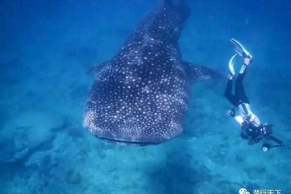 我是宠物?还是鲨鱼? ——马代护士鲨的独白