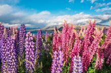 """"""" 这是我第一次来到新西兰,这里就像是仙境!这里不仅有纯净天然的景致、新鲜多样的食材,而且最美好的是"""