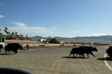 若尔盖到唐克途中的牦牛