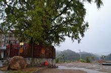 去梅岭太平村,寻千年的银杏