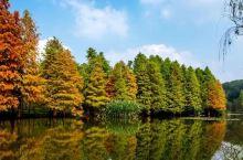 秋天的水边伊人,梅花谷落羽杉披上了霓裳~