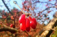 比花还艳的茱萸果