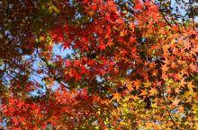 红叶狩 热情的红叶