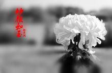 廖沟河湿地菊花