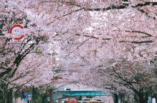 东京中野街头:生活味儿的樱花祭典