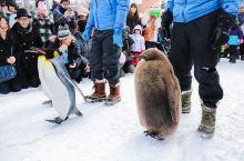 #元旦去哪玩#到旭川公园拜见企鹅大人!
