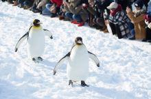 萌翻全场的企鹅漫步