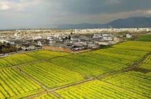 三千亩油菜花正绽放 (图),喜洲不止有古镇老宅